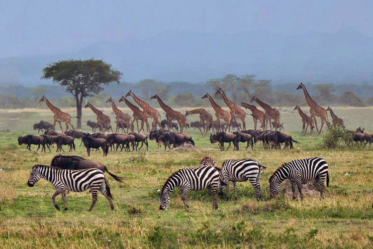 [Africa Great Migration]